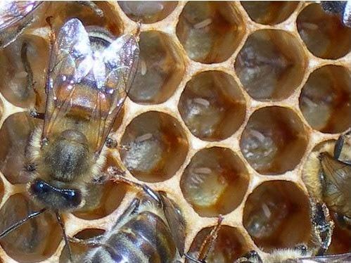 fresh honey bee eggs in cells of comb