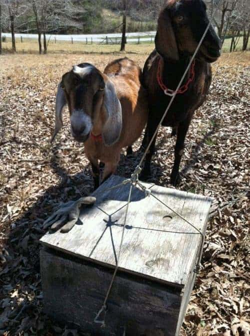 picture of goats watching a swarm box being set in place.