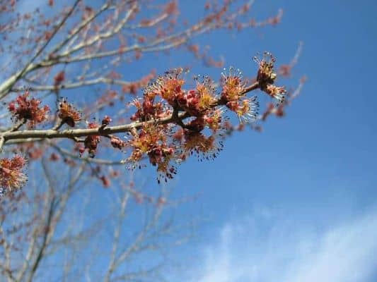 picture of a red maple tree in bloom