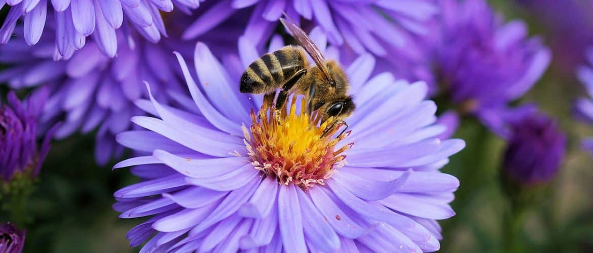 foraging honeybee on fall aster