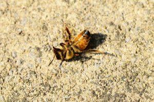 dying honeybee