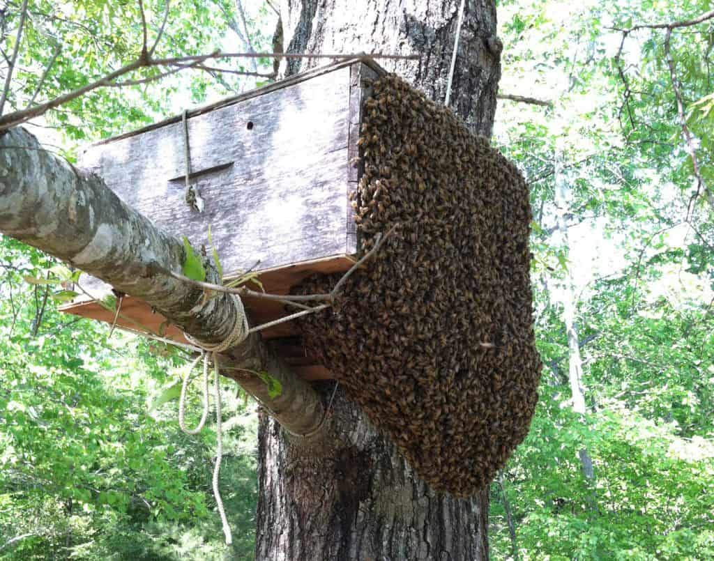 The bee swarm entering a bait hive.