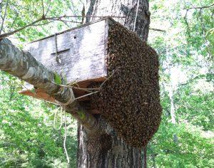 bee swarm entering bait hive - Carolina Honeybees