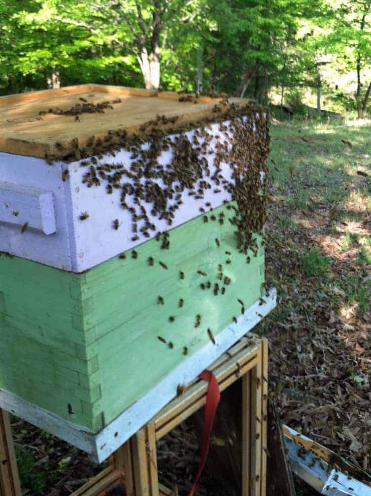 The bee swarm members are joining their queen inside the new hive. Carolina Honeybees Farm