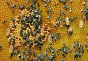 Supercedure queen cells in beehive.