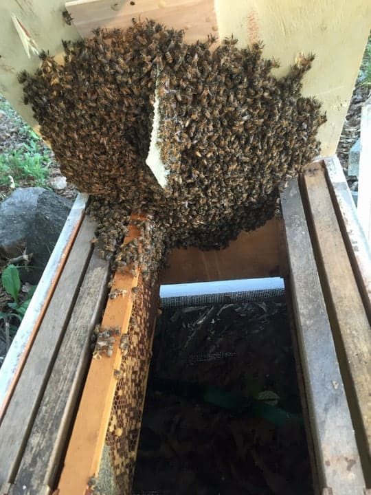 swarm of honey bees caught in my bait hive