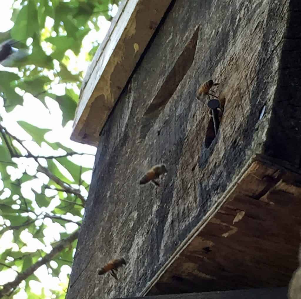 old bait hive in a tree with bees at entrance