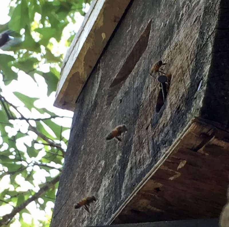 swarm trap in a tree with scout bees from a honey bee swarm inspecting the entrance