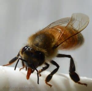 picture of a honey bee drinking water
