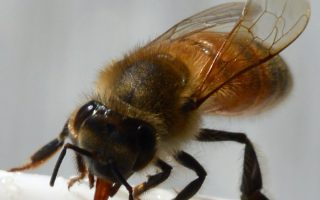 Providing Water For Honey Bees In Your Backyard