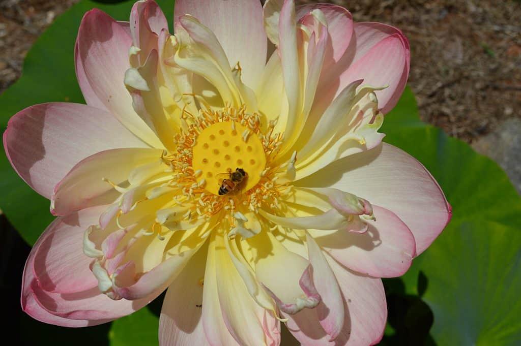 honey bee on my lotus flower in the bee garden