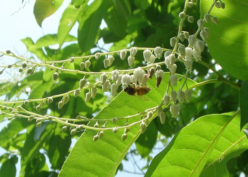 honey bees collecting nectar from sourwood tree to make sourwood honey