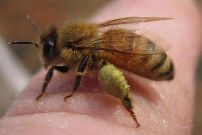 Honey bee sitting on human finger - has pollen on back legs