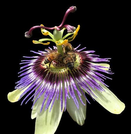 Passion flower that has attracted honey bees