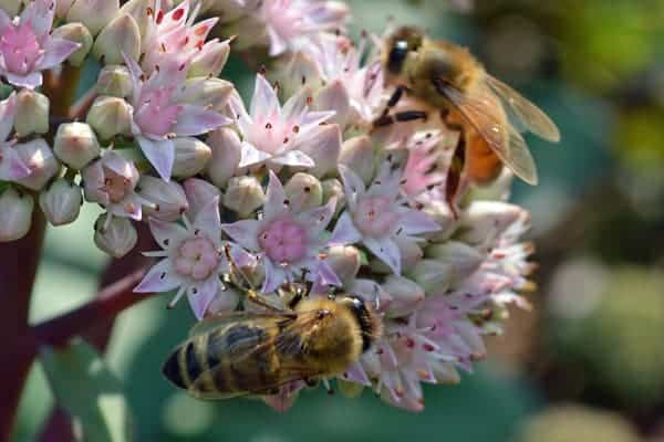 autumn joy flowers attracting honey bees with nectar