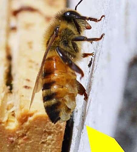honey bee makes wax from glands