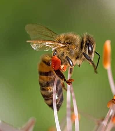 Honey bee collecting pollen from flower. Red pollen on the pollen baskets of the bee