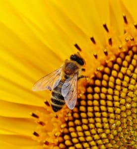 Why should we save bees and other pollinators. Can we save the bees ? Carolina Honeybees Farm