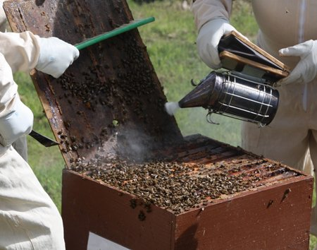 beekeeper performing hive inspections a necessary part of beekeeping