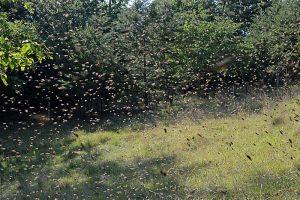 Catching a honey bee swarm is exciting work. Carolina Honeybees Farm