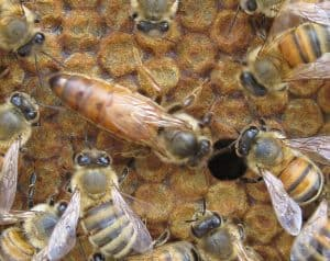 frame of bee brood with a large queen honey bee