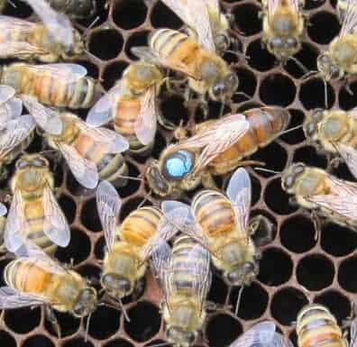 queen honey bee on comb with worker bees