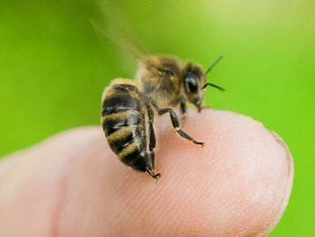 Honey bee stings are not our favorite part of bees.