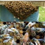 Honey Bee Swarm Prevention-Like A Boss