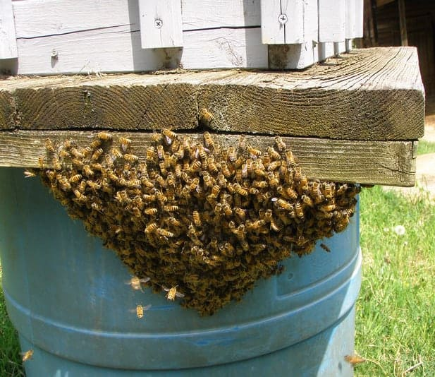 Bee swarm hanging from a wooden platform.