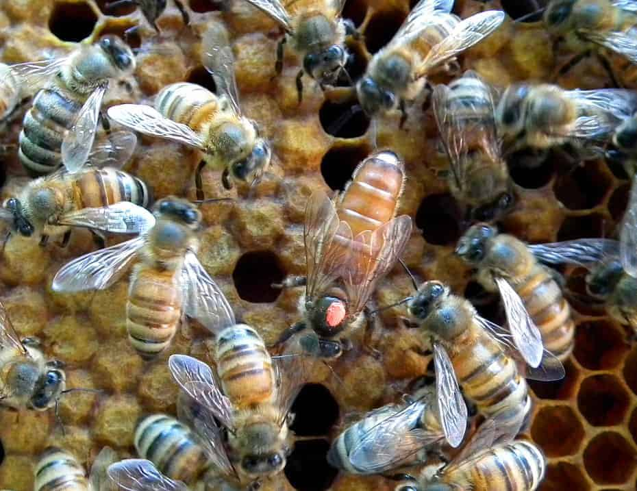 Queen bee. Beekeepers strive to keep young queens to reduce swarming.