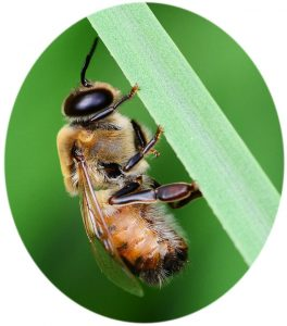 Drone honey bee on a blade of green grass