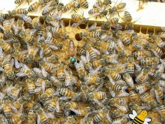 Marking make finding the queen bee easier