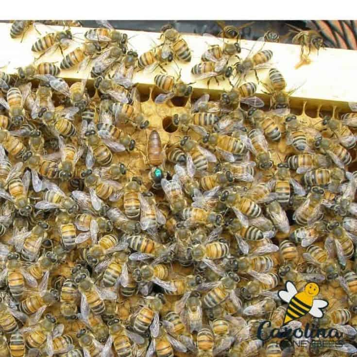 Finding a Queen Bee- 5 Little Tricks You Need to Know