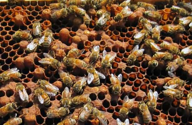 frame of bee brood with mostly drone brood