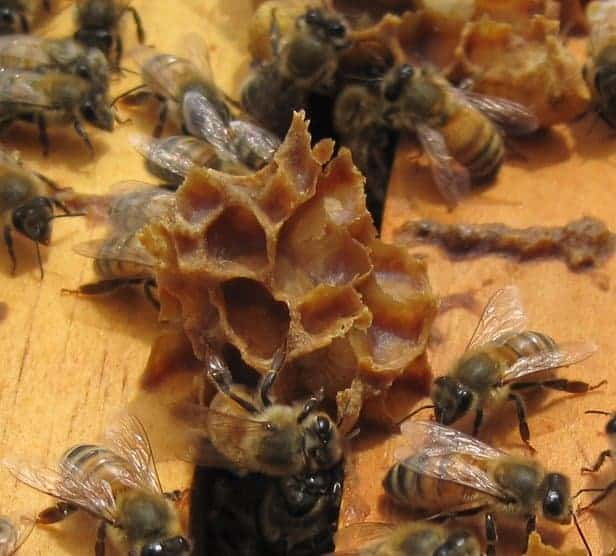 Bees build burr comb between hive frames. Dont be alarmed if you break comb during beehive inspections Carolina Honeybees Farm