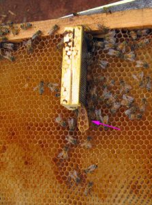 Queen cage with burr comb noticed during hive inspection