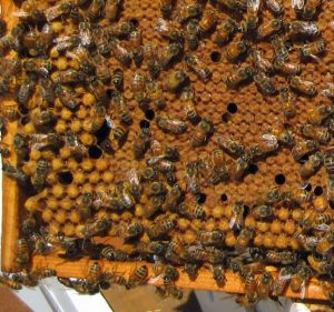 A beehive inspection may reveal drone brood. That is okay. Carolina Honeybees