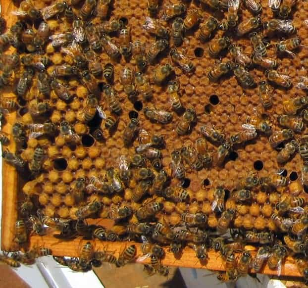 a frame of bee brood inside a beehive