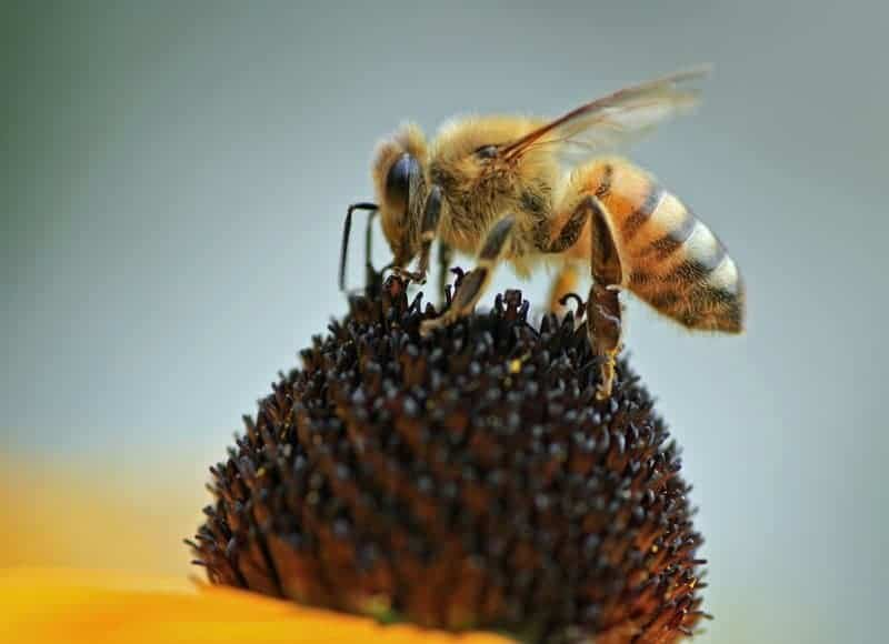 Honey bee robbing behavior during dearth can mean colony deaths.
