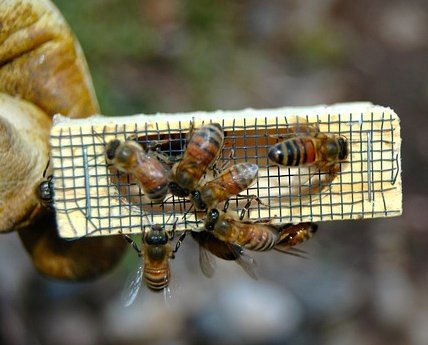 queen honey bee inside a queen cage with worker bees looking inside