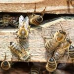 Absconding Bees Leave The Hive