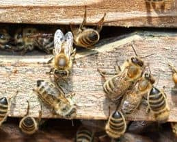 Absconding Bees – Why Bees Leave The Hive
