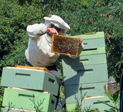 Beekeeper inspecting beehives image.