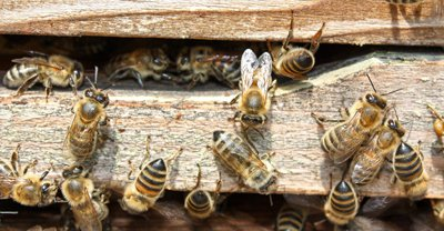 honey bees at the entrance of a beehive