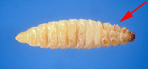 small hive beetle larva showing front lets