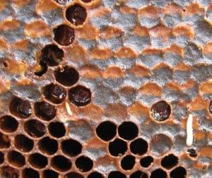 Small Hive beetle larva crawling on honey comb image.