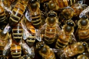 Varroa Mites and bees in balance. Carolina Honeybees