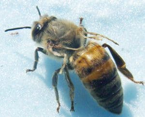 Dead bees in winter often succumb to viruses spread by varroa.