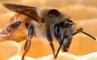 Varroa Mites and Bees