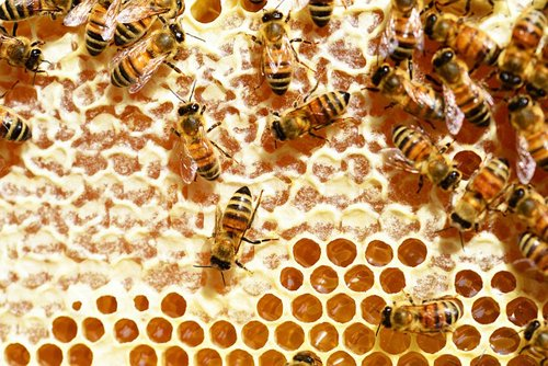 Bees capping honey for harvest with wax
